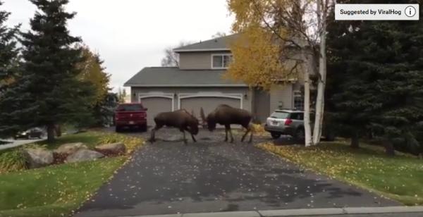 moose fighting