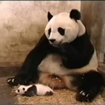 Baby Panda Sneeze