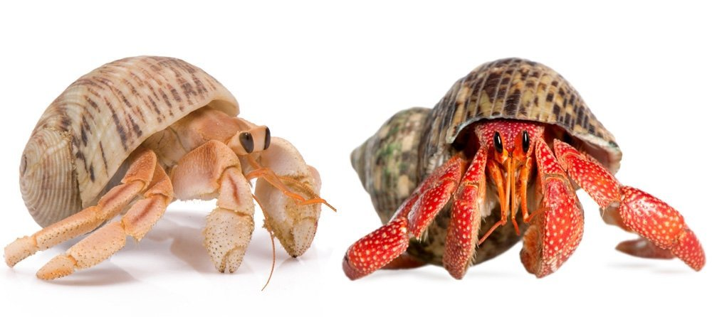 hermit crabs are one of the best starter pets for kids